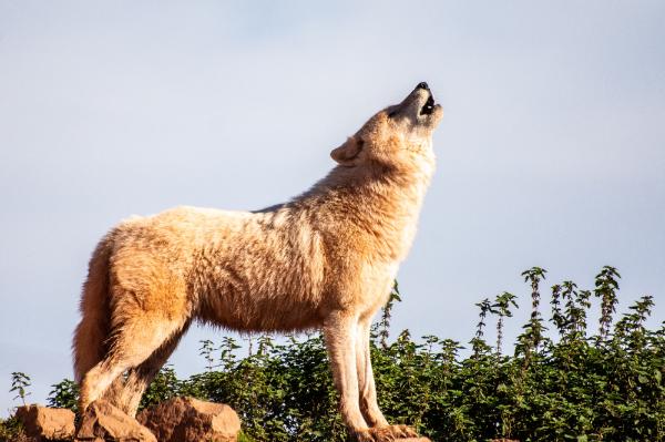 一匹オオカミ
